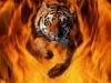 Guruz tiger